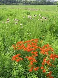 Butterfly Milkweed and Pale Purple Coneflowers